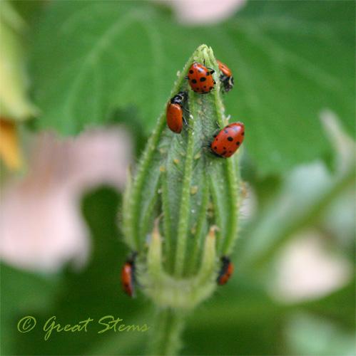 ladybugb08-31-09.jpg