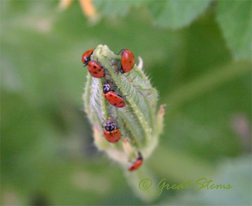 ladybugc08-31-09.jpg