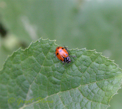 ladybugf08-31-09.jpg