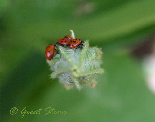 ladybugh08-31-09.jpg