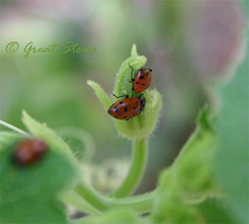 ladybugj08-31-09.jpg