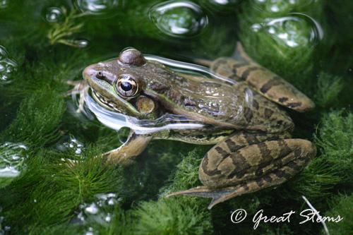 leopardfrog09-28-10.jpg