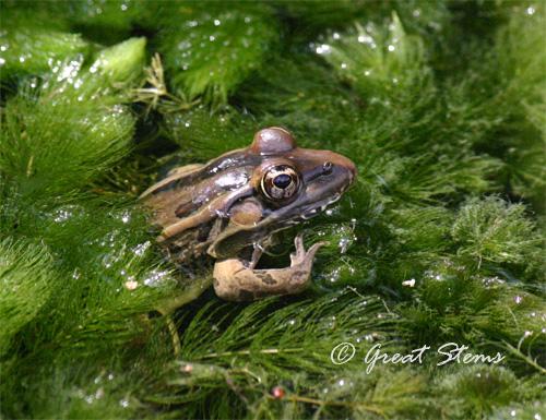 leopardfrogb09-28-10.jpg