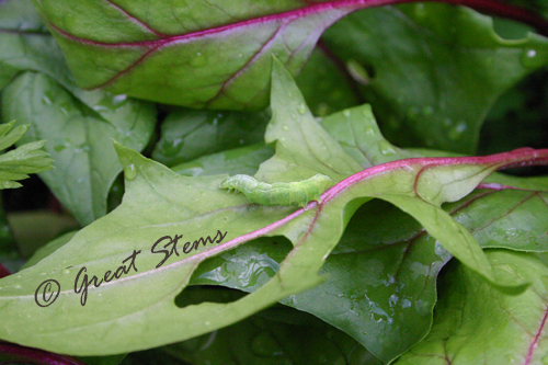 lettucepest11-13-09.jpg
