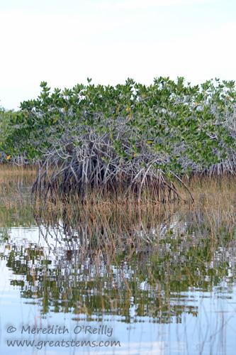 mangroves03-13-12.jpg