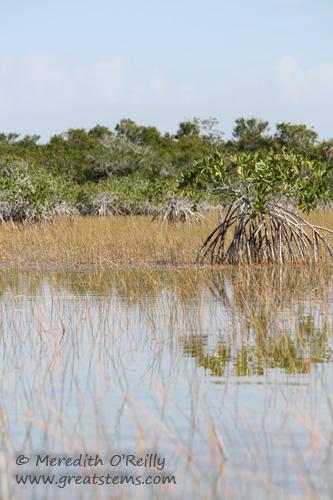 mangrovesb03-13-12.jpg