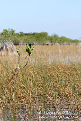 mangrovesc03-13-12.jpg