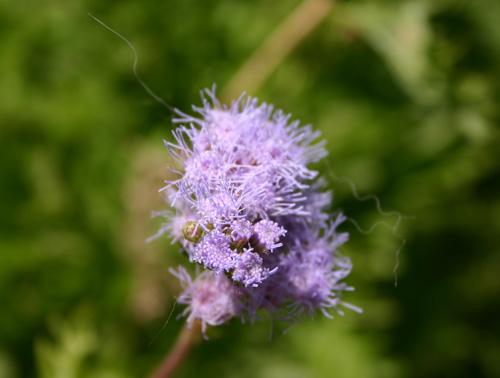 mistflower.jpg