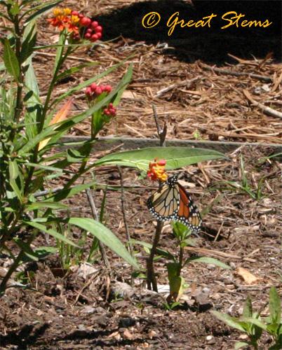 monarch04-24-10.jpg
