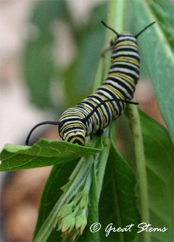 monarchcatb10-11-11.jpg