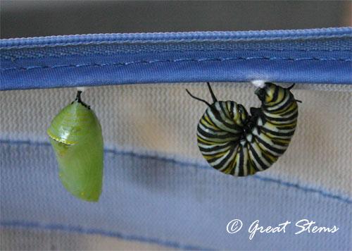 monarchcatchrys10-12-11.jpg