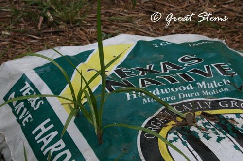 nutgrassc08-12-10.jpg