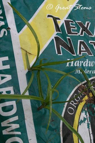 nutgrassd08-12-10.jpg