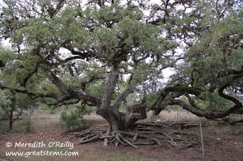 oaktreeb02-04-12.jpg
