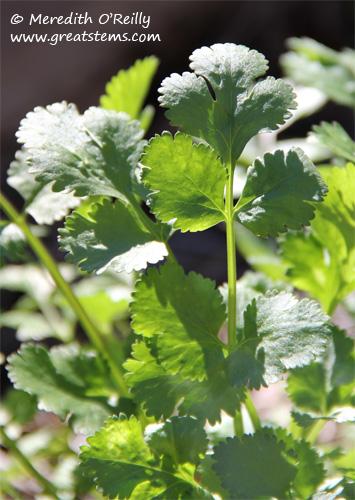 parsley01-27-12.jpg