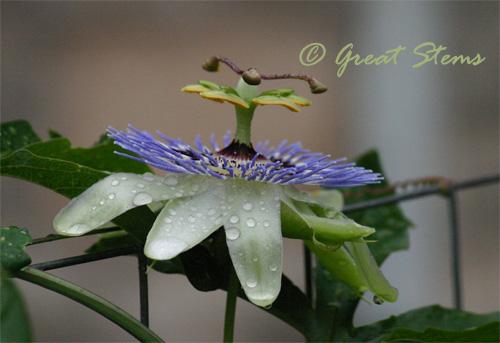 passiflora06-04-10.jpg