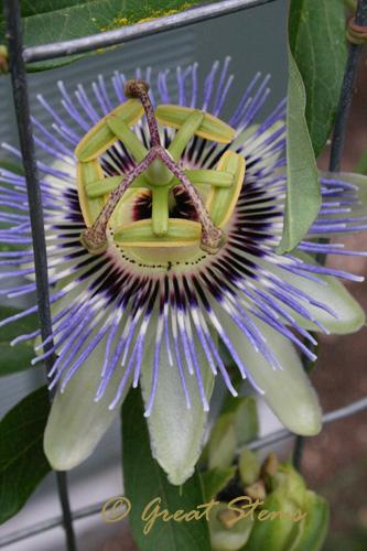 passiflorab05-27-10.jpg