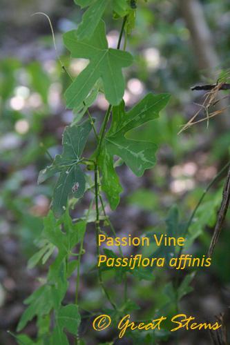 passiflorac10-31-09.jpg