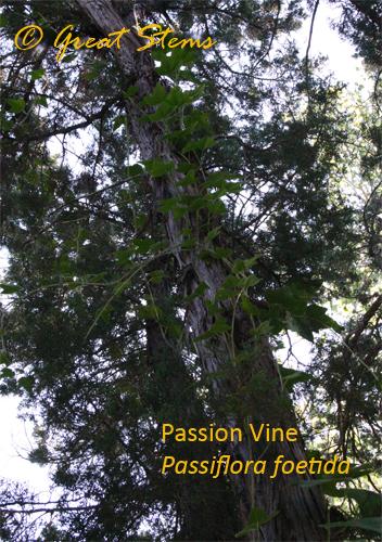 passiflorad10-31-09.jpg