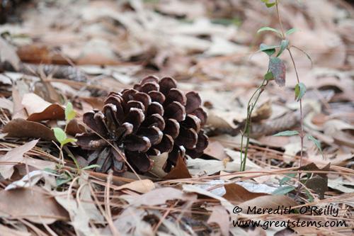 pinecone03-11-12.jpg