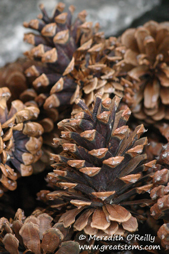 pinecones01-12-12.jpg