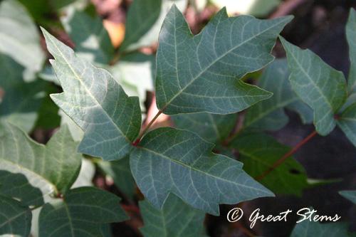poisonivy10-01-10.jpg