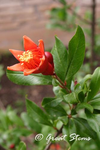 pomegranateb05-08-10.jpg