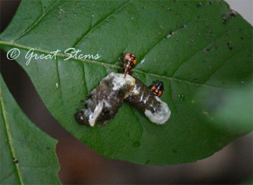 predatorystinkbugs06-13-10.jpg
