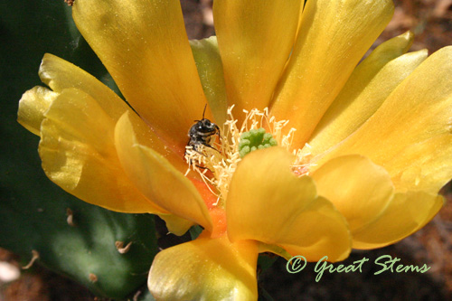 pricklypear04-23-11.jpg
