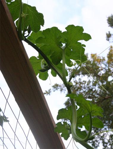 pumpkinplant09-06-09.jpg