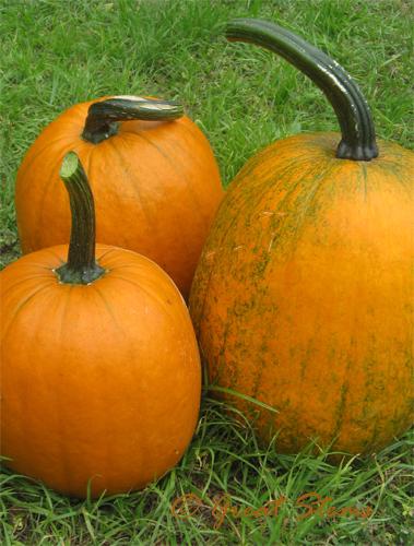pumpkinsb10-26-09.jpg