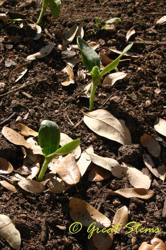 pumpkinseedlings03-14-10.jpg