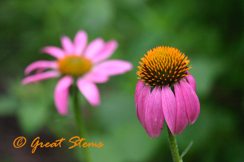 purpleconeflower06-04-10.jpg