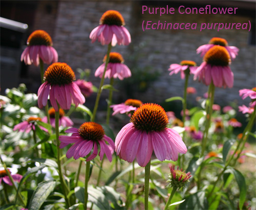 purpleconeflower06-15-09.jpg
