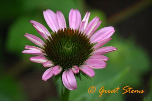 purpleconeflowerb06-04-10.jpg