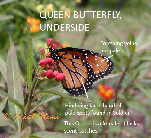 distinctive for the Queen  Queen Butterfly Vs Monarch