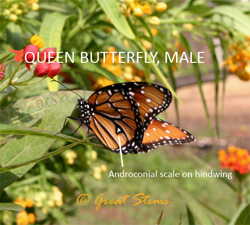 Distinguishing Queens, Monarchs, and Others | Great Stems Queen Butterfly Vs Monarch