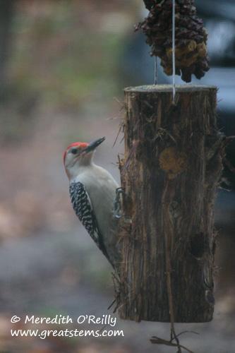 rbwoodpecker01-09-12.jpg