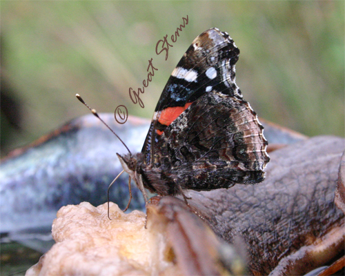 red admiral.jpg