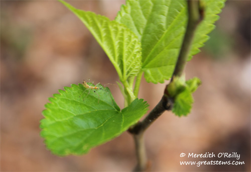 redmulberry02-01-12.jpg