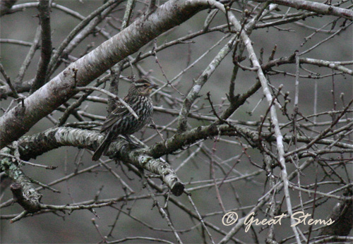 rwblackbirdfemale02-20-11.jpg