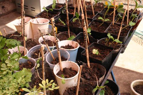 seedlings07-11-09.jpg