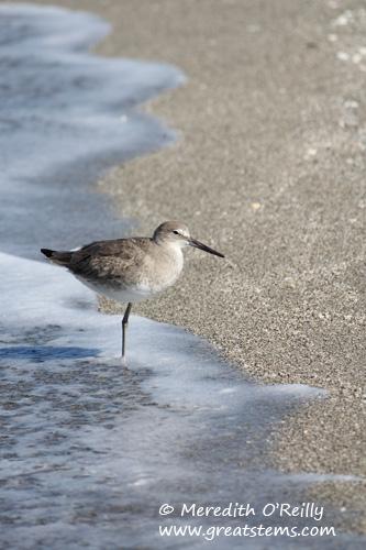 shorebird03-12-12.jpg