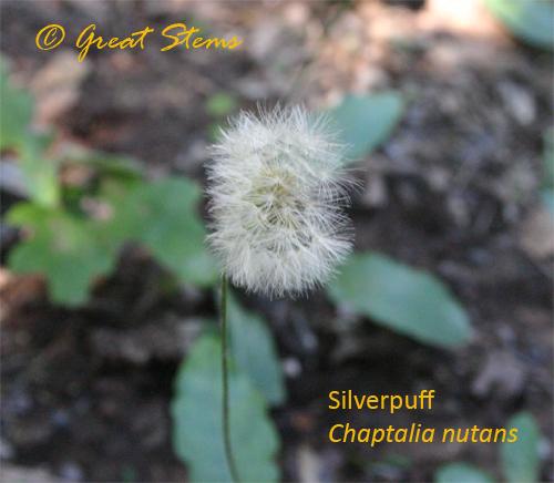 silverpuff10-31-09.jpg