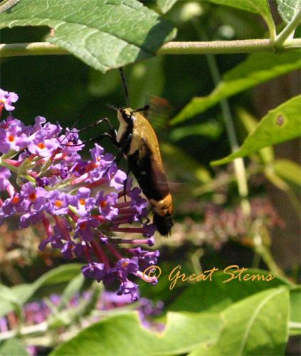 snowberryclearwingb07-08-10.jpg