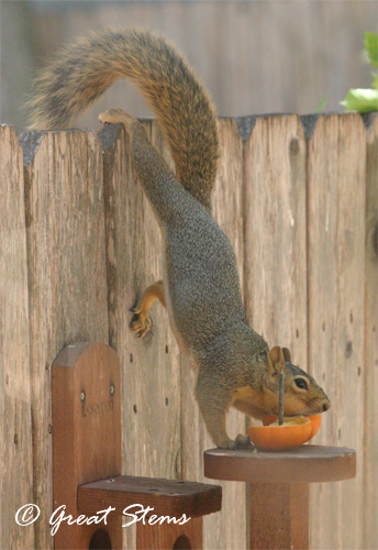 squirrelwithorangea09-06-11.jpg