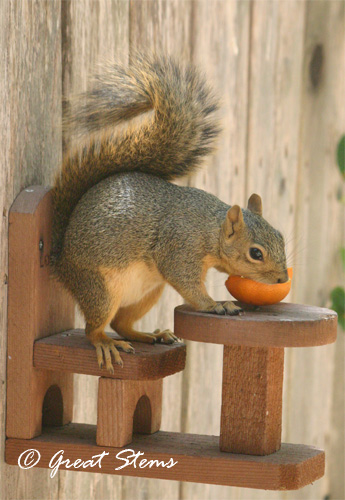 squirrelwithorangeb09-06-11.jpg