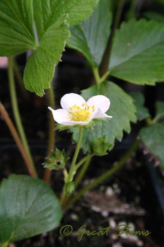 strawberryplant09-18-09.jpg