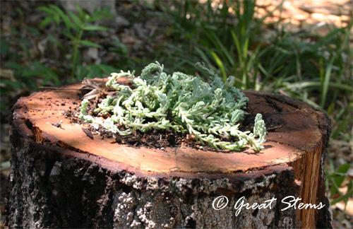 stumpplanterd08-26-11.jpg