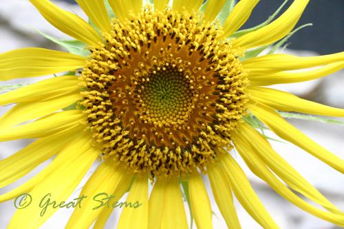 sunflowera07-10-10.jpg